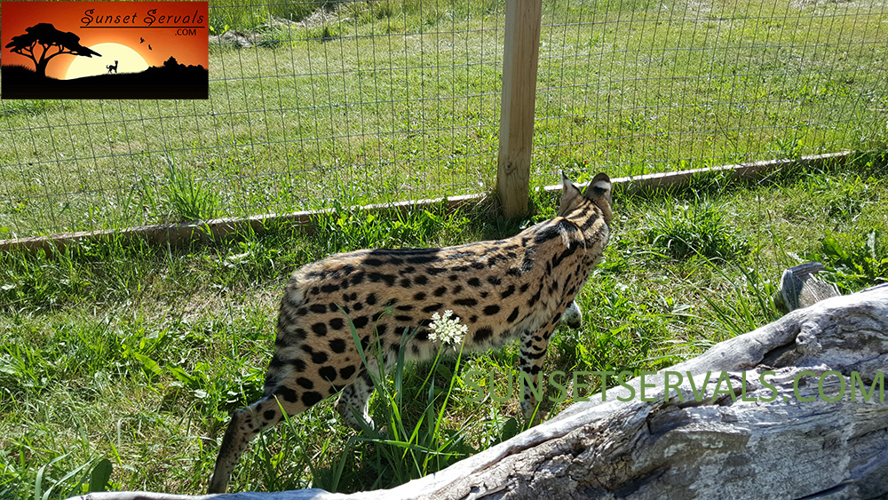serval cat kitten available canada ontario united states worldwide savannah f1 f2 f3 f4 f5 f6 caracal
