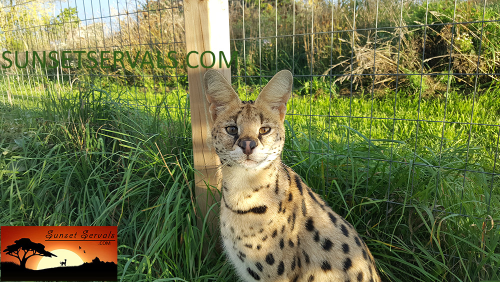serval cat kitten f1 savannah f2 f3 f4 f5 canada