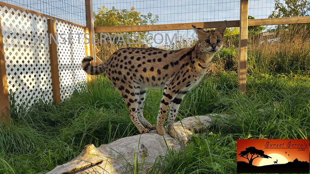 serval cat canada kitten savannah caracal f1 f2 f3 f4 f5 f6 worldwide shipping